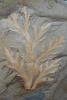 Farn-Hüllblatt Aphlebia