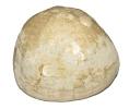 Echinocorys vulgaris