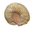 Epicheloniceras waageni (40 cm Dm)