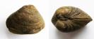 Muschel Neomiodon sp. (2cm)