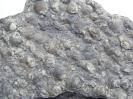Kalkplatte mit Muschelschill