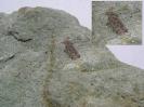 Actinolepis tuberculata (Mark-Kurik, 2000)