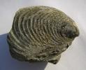 Muschel Inoceramus poliplocus