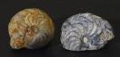 Ammonit Goniatites crenistria