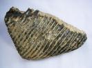Mammuthus primigenius