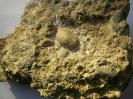 Konglomerat mit abgerollter paläozoischer Koralle